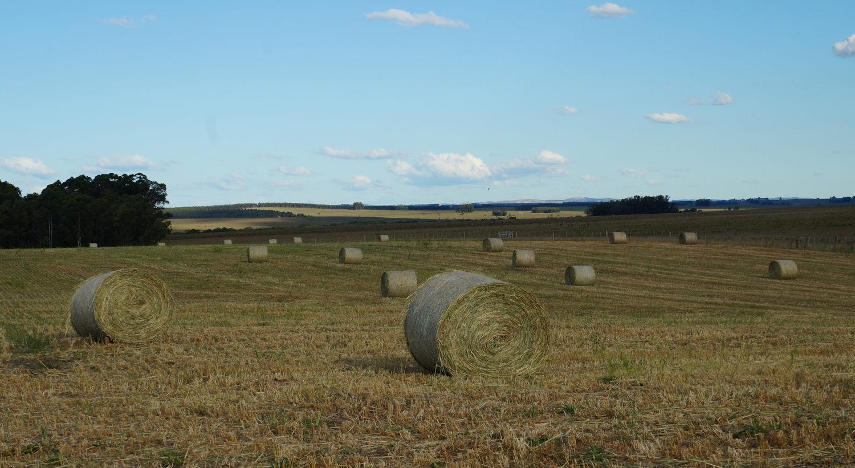 moha grass hay