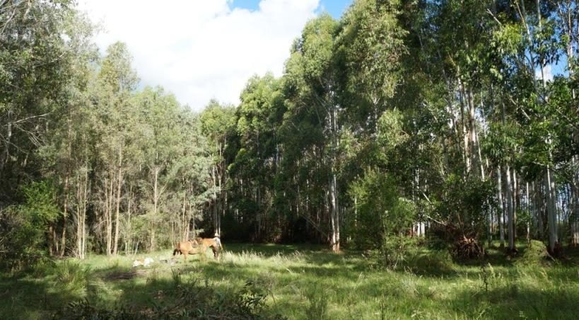 eucalyptus forest uruguay